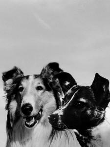 laika-lassie-portrait-ipad